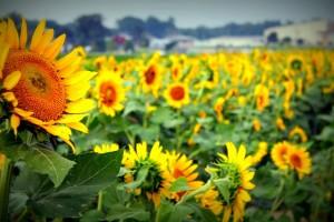 sundflower1